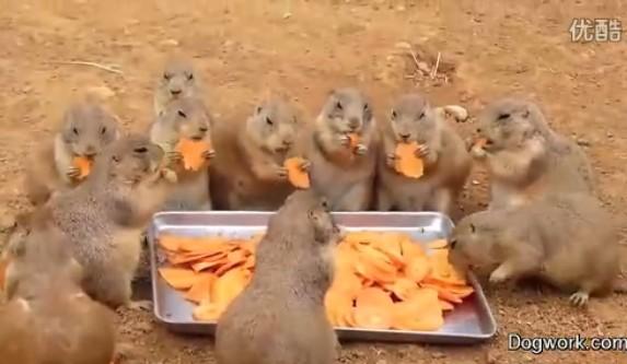 土拨鼠的吃相 好绅士好萌