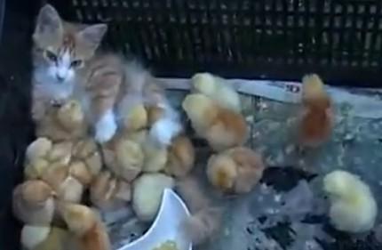 20只小鸡把小猫当妈妈