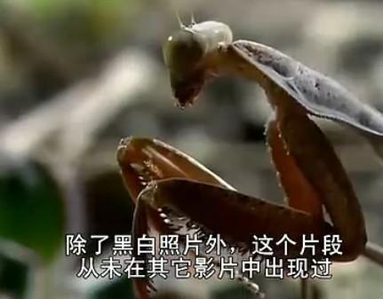 巨型螳螂捕杀小老鼠