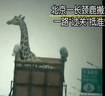 """北京一长颈鹿搬家 一路""""过关""""抵淮安"""