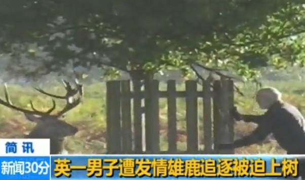英一男子遭发情雄鹿追逐被迫上树