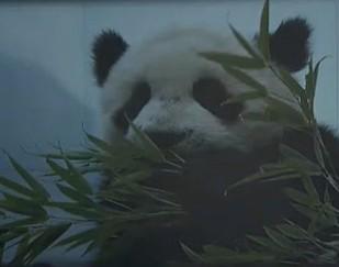 网曝远古重庆人常吃清蒸熊猫 专家称有据可依
