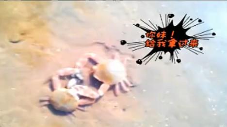 两只小螃蟹夺食大战