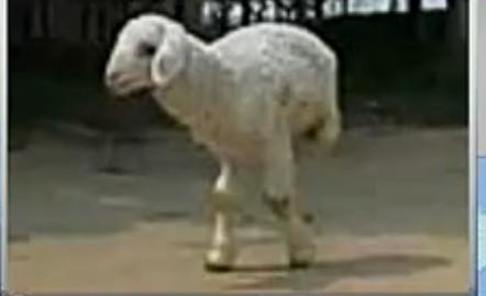 """""""羊坚强""""后腿天生残疾 只能两腿走路"""