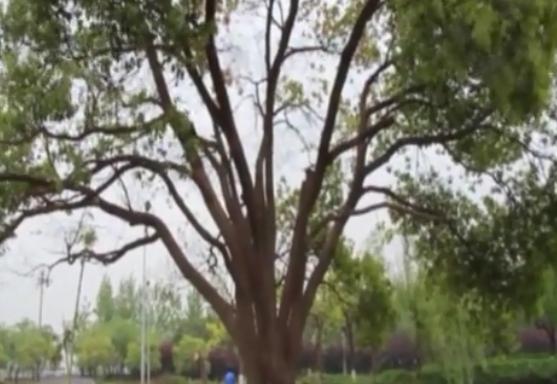 焦杨《香樟树》