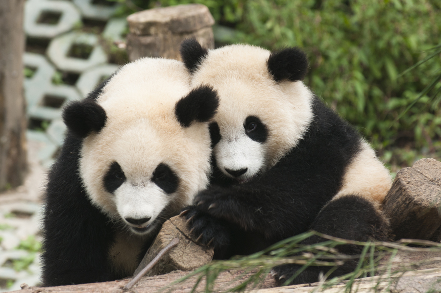 大熊猫居然敢戏弄饲养