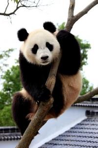 大熊猫萌萌的高危险动作
